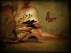 what I see when I close my eyes.... (~bumblebee(mirella)~) Tags: flower photoshop butterfly bumblebee textures textured photoshop70 mirella texturized