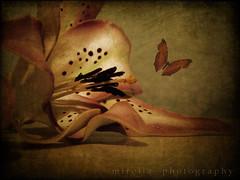 what I see when I close my eyes....Ƹ̵̡Ӝ̵̨̄Ʒ (~bumblebee(mirella)~) Tags: flower photoshop butterfly bumblebee textures textured photoshop70 mirella texturized ♫♫ ƹ̵̡ӝ̵̨̄ʒ
