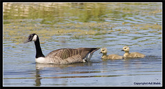 Canada goose and goslings (Adi7r) Tags: white black bird nature water birds female swimming flying bill wings br wing reserve goose goslings naturereserve fowl adi brantacanadensis webbedfeet rspb adiwebb adi7r