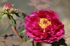 牡丹   Peony (myu-myu) Tags: red flower nature japan nikon peony ボタン paeoniasuffruticosa d700 nikkor105mmf28gvrmicro 花空間