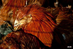 Gallina! (Marti Margarit) Tags: bird gallo aves rooster aus gall cockerel gallina aviram firadelgalldevilafranca