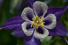 _DSC1236      1.8k (ChanHawkins) Tags: flowers sensational waterdrops flint naturesfinest supershot flowersandcolors macroflowerlovers natureskingdom mcfarlanhome mcfarlanhomearea