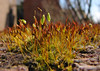 Moss (Mr Grimesdale) Tags: macro brick nature moss sony mrgrimsdale stevewallace dsch2 mrgrimesdale grimesdale