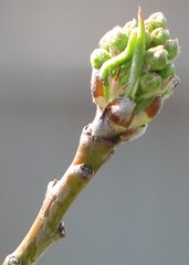 flowering pear tree bud