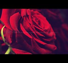 Finally Accepted!! (QATAR ROSE) Tags: red love rose you it u p lovely qatar deserve blueribbonwinner abigfave 7beebty mabroooooooooook wanasaaa