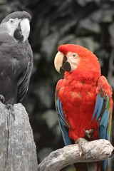 parrot colour spotted (Elvis Presley2008) Tags: red birds zoo parrot parrots redparrot colourspotting oneleggedparrot