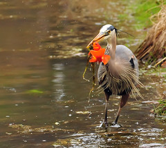 A Tenuous Grip (ozoni11) Tags: fish bird heron birds animal animals interestingness fishing pond nikon maryland explore wetlands koi ponds greatblueheron herons wheaton wetland 117 d300 greatblueherons interestingness117 i500 animaladdiction specanimal michaeloberman mywinners explore117 anawesomeshot ozoni11 wheatonmaryland