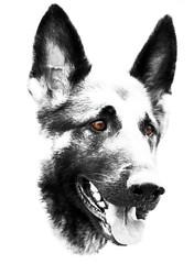German Shepherd - Bree (phila67) Tags: thelittledoglaughed