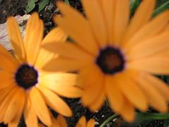 Happy Flower Closeup (s.kosoris) Tags: flowers canon garden closeups happyflowers s3is canonpowershots3is skosoris