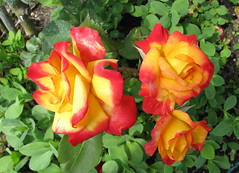 Red and yellow roses (Monica Arellano-Ongpin) Tags: red rot nature rose yellow jaune rouge rojo couleurs rosa colores amarillo giallo farben excellence galb