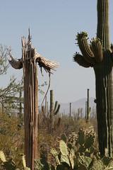 IMG_0798 (quinn.anya) Tags: arizona cactus saguaronationalpark