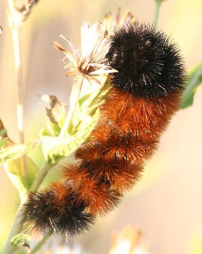Isabella Tiger Moth Larvae