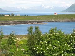 B (greteturid) Tags: summer nordnorge fjre vesterlen b rogn northernbeauty viltogfrodig