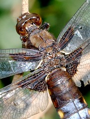 Power plant (Nige's Place) Tags: uk wild england nature europe dragonflies britain wildlife insects hampshire bugs british odonata chasers skimmers broadbodiedchaser