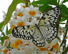 AKA Paper Kite Butterfly and Orchids (njchow82) Tags: flowers white plant canada calgary nature butterfly insect zoo orchids wildlife alberta potofgold blueribbonwinner beautifulexpression specanimal avisittothezoo platinumphoto anawesomeshot impressedbeauty incrediblenature worldofanimals dmcfz18 goldstaraward top20flowerswithbugs flickrbestpics flickrlovers naturescreations njchow82 smallcreatureswilllovethisplace winnerbc akapaperkitebutterfly