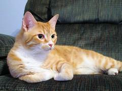Cheetoe strikes a pose (jessicagreen0202) Tags: animals photography kitties