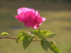 Bougainvellia (Soumen Nath) Tags: pink flower macro closeup nikon nikon5700 kwiat rowy bougainvellia floresbugambiliasveraneras excellentsflowers natureselegantshots mimamorflowers flickrflorescloseupmacros