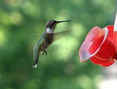 Ballet in the air  IMG_7253 (yahcatphotos) Tags: nature birds composition wow hummingbird technique shreveport rubythroatedhummingbird jmc archilochuscolubris