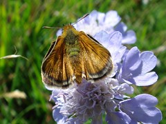 Lulworth Skipper III