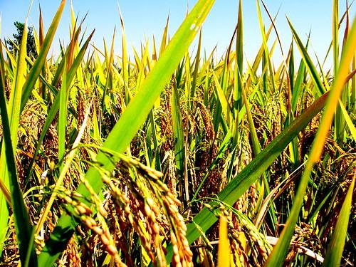 Rice near Luoshan, Henan Province, China