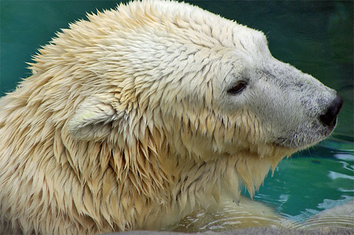 Polar Bear, tender look