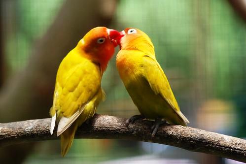 gambar love bird lutino