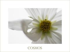 Cosmos (nathaliehupin) Tags: white flower fleurs nikon d200 blanc cosmos naturesfinest photographebruxelles nathaliehupin photographeluxembourg photographehainaut photographenamur photographeliege photographemons photographebelgique wwwnathaliehupinbe wwwnathaliehupingraphismebe