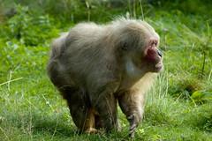 DSC_5864-6 (Oli Tee) Tags: unitedkingdom dorset monkeyworld wareham