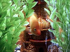 Paret fish (TohidV) Tags: fish aquarium iran mashhad paret  tohid  vaezi tohidvaezi paretfish