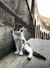 Roma Kitty (` Toshio ') Tags: italy rome roma building history colors animal cat pose mammal italian europe italia roman perspective kitty colosseum stray curve europeanunion feralcat colosseo vespasian toshio awwwwwwww platinumheartawards amputheater
