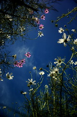 cosmos skies (jam343) Tags: pink flowers autumn sky white cosmos inspiredby  colorphotoaward naturewatcher