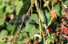 Migrant Hawker (M Carmody Photography) Tags: autumn ireland fruit insect dragonfly september handheld wexford extender 14x migranthawker canonef500mmf4lisusm 5milepoint canoneos1dsmarkiii