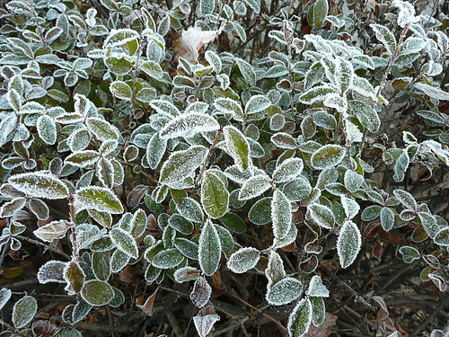 Frosted shrub