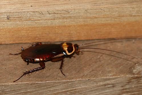 Periplaneta americana (American Cockroach)