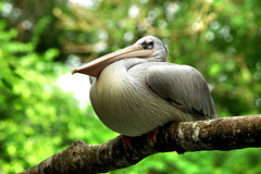 Waiting.... (air17) Tags: wild bird love pelicans nature birds animals zoo pelican singaporezoo platinumphoto itsazoooutthere