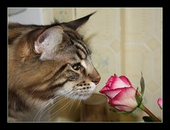 Stop and smell the roses (voodoo_child_91) Tags: pink brown green classic love beautiful rose cat canon nice feline tabby maine kitty taz whiskers coon mainecoon sniff supershot bestofcats theunforgettablepictures