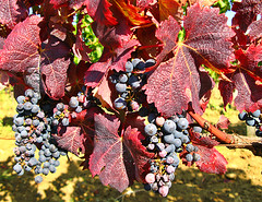 Blue grapes and red leaves, Poitou-Charentes, France (Happy Sleepy) Tags: vineyard vinyard grapes grape plant farming growing poitoucharentes france red leaves bunch fruit 2009 2008 happysleepy magdawojtyra happysleepycom artistlife