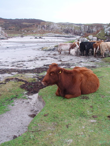Beach cattle