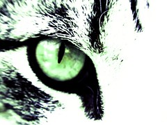 Eye See You (Silent Orchestra) Tags: light cats white green eye animal animals closeup cat dark kitten cateye silentorchestra closeupofeye laughlovehope