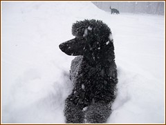 Shane in snow storm 12-31-08 (Alternative Dog Daycare) Tags: jay shane aidan standardpoodle phantompoodle