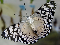 Newly hatched Rice Paper Butterfly (I think) (Laramie_Coyote) Tags: nature butterfly bug insect wildlife caughtup arealgem worldnatureandwildlifecloseup worldnatureandwildlifehalloffame printedalready pogchallengewinners btglevel1 rainbowelite