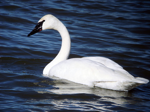 trumpeter swan pictures. Trumpeter Swan