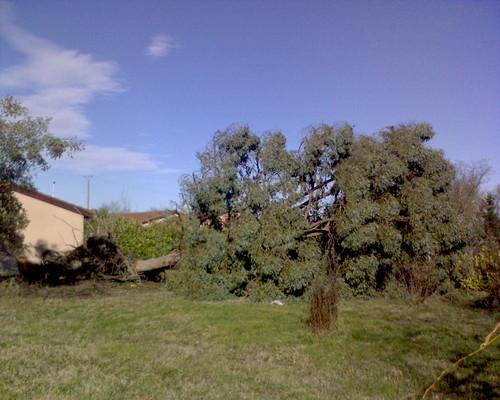 Eucalptus Down