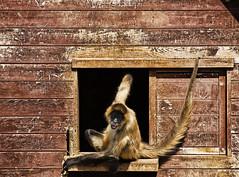 Just Hanging Around (geedub11) Tags: park animal japan zoo monkey nikon zoom okinawa neo nikkor oki 80200mm 80200mmf28 d80 nikonflickraward