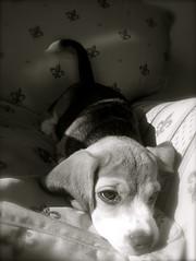Pensativo... (CharmLady) Tags: pet cute blancoynegro beagle dogs blackwhite perro romeo pensativo cuteness mascota ternura