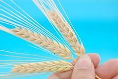 ...thought wheat was water... (ana.gr.) Tags: blue nature gold hand wheat grain trigo onblue alberti espigas