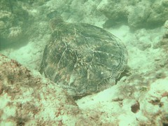 honu! (The Shifted Librarian) Tags: hawaii amazing oahu snorkeling hanaumabay seaturtle definitelygothere
