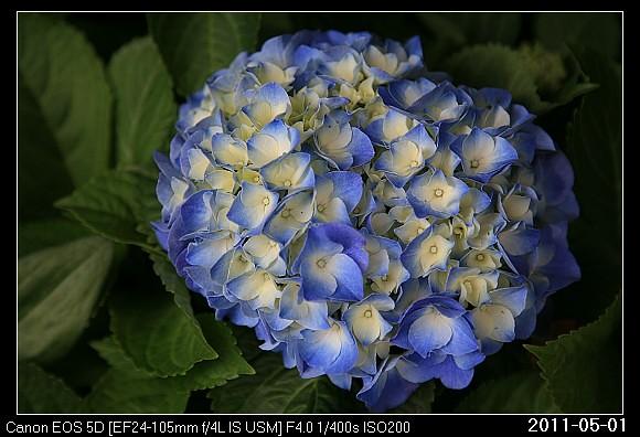 20110501F2紫陽花