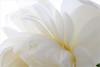 Lotus petals - IMG_5647 (Bahman Farzad) Tags: flower macro yoga petals peace waterlily lotus relaxing peaceful petal meditation therapy lotusflower lotuspetal lotuspetals lotusflowerpetals lotusflowerpetal