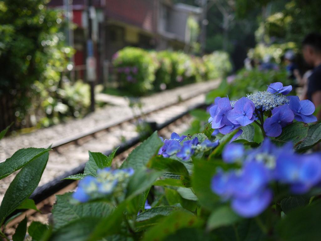 Kamakura - Hydrangea